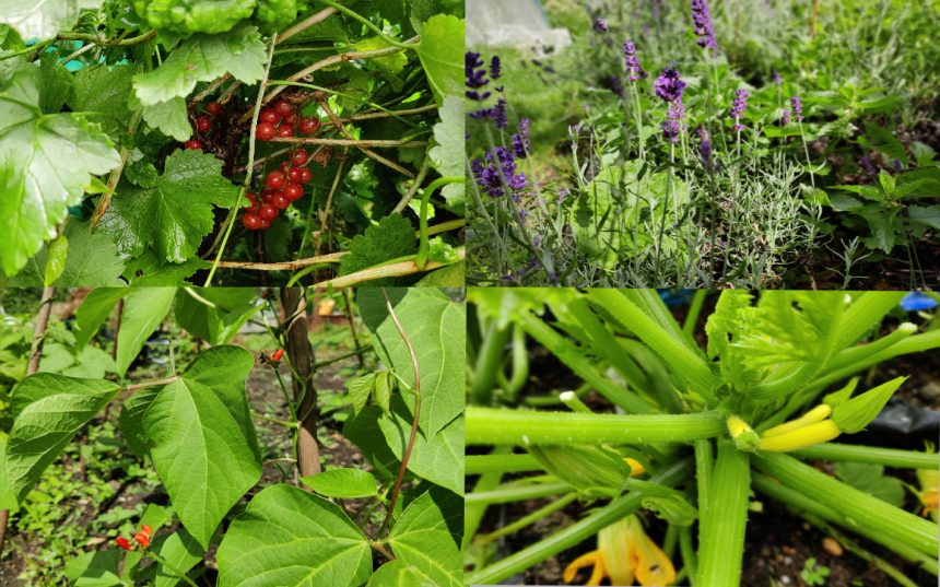 Collage of 4 photographs top left is red currants on bush, top right is lavender and lemon balm, bottom right are yellow courgettes and bottom left are climbing beans.